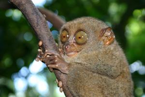 tarsier02